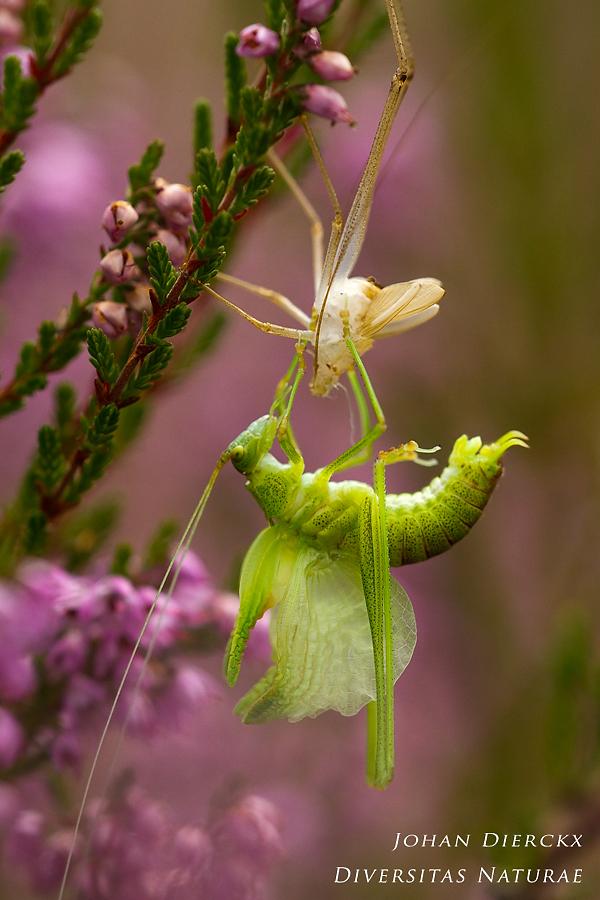 Phaneroptera falcata - ecdysis 2/4