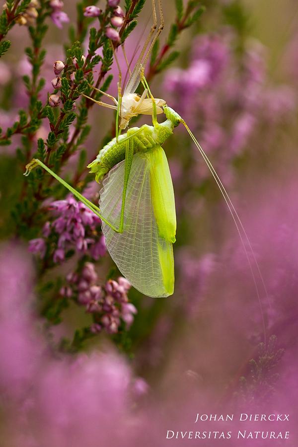 Phaneroptera falcata - ecdysis 3/4