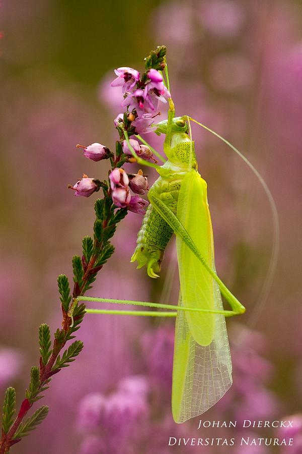 Phaneroptera falcata - ecdysis 4/4
