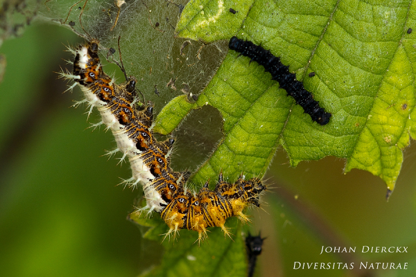 Polygonia c-album & Aglais io - caterpillars