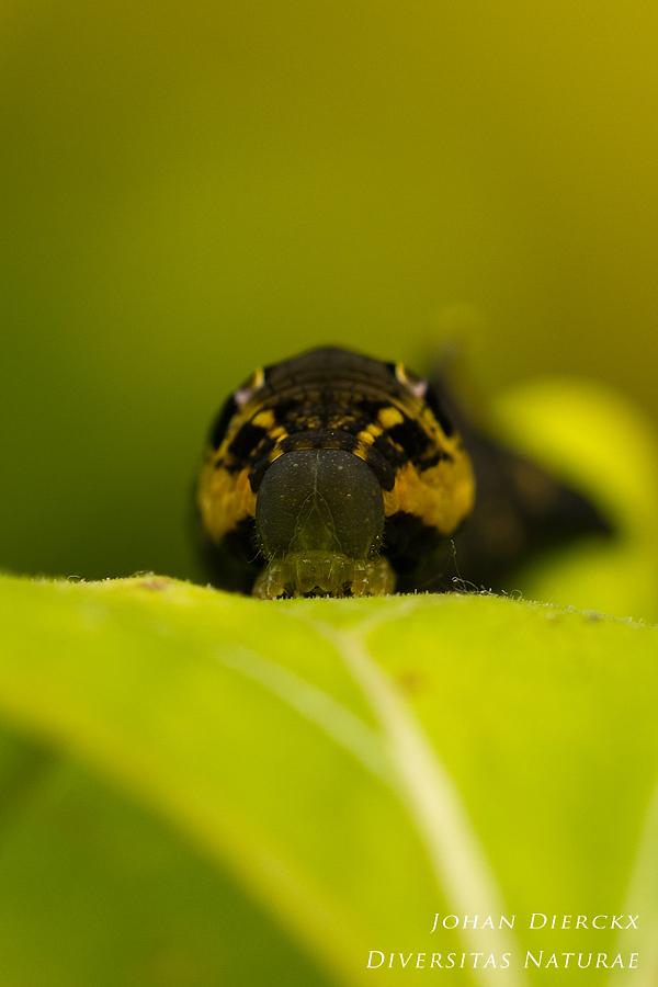 Deilephila elpenor - caterpillar #2