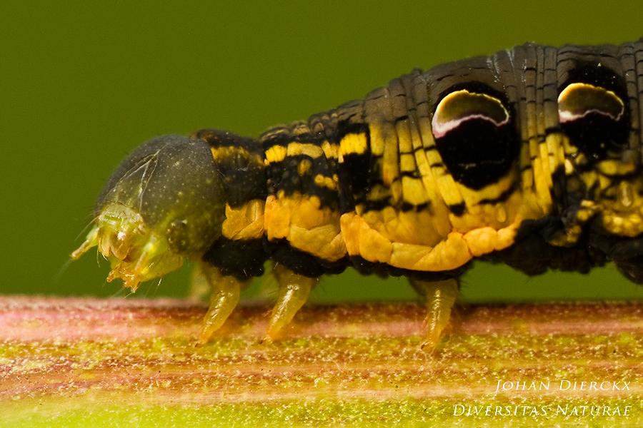 Deilephila elpenor - caterpillar #3