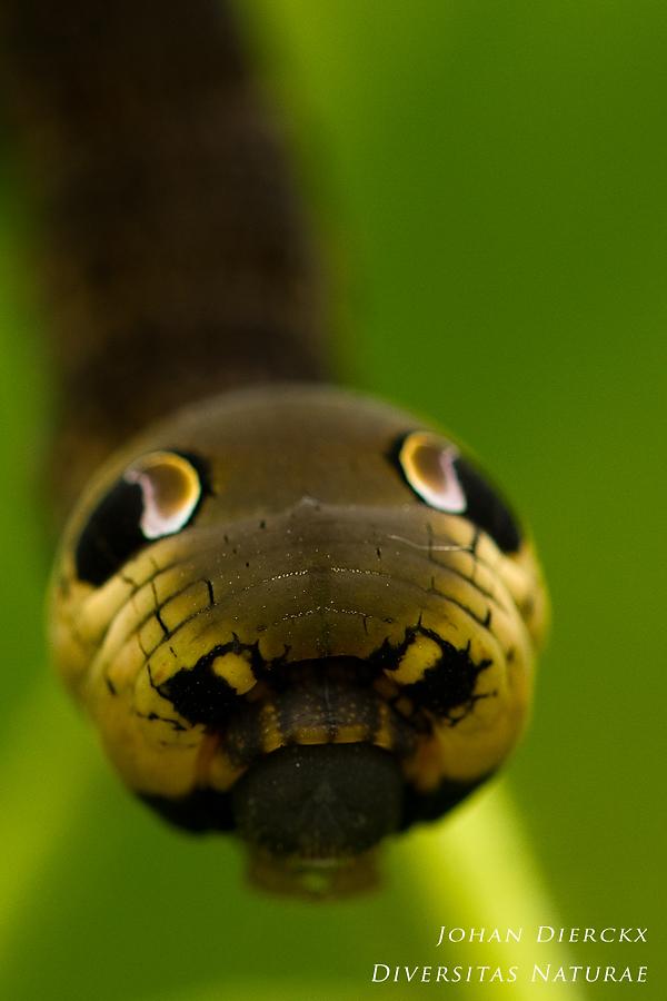 Deilephila elpenor - caterpillar #5
