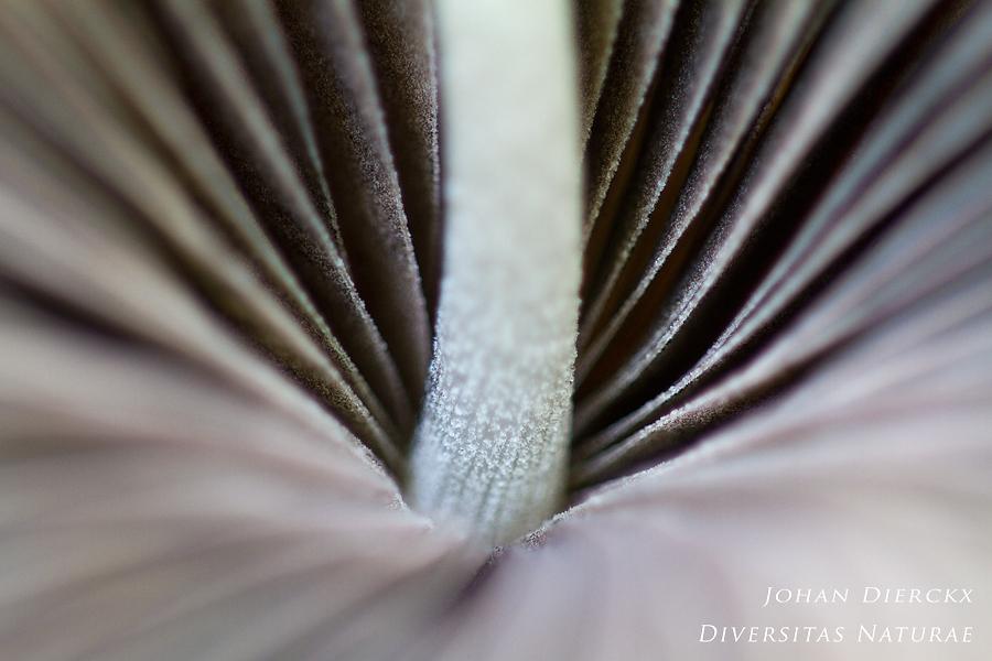 Psathyrella conopilus - detail