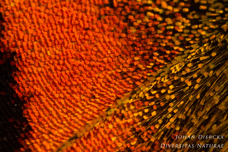 Aglais urticae: wing scales