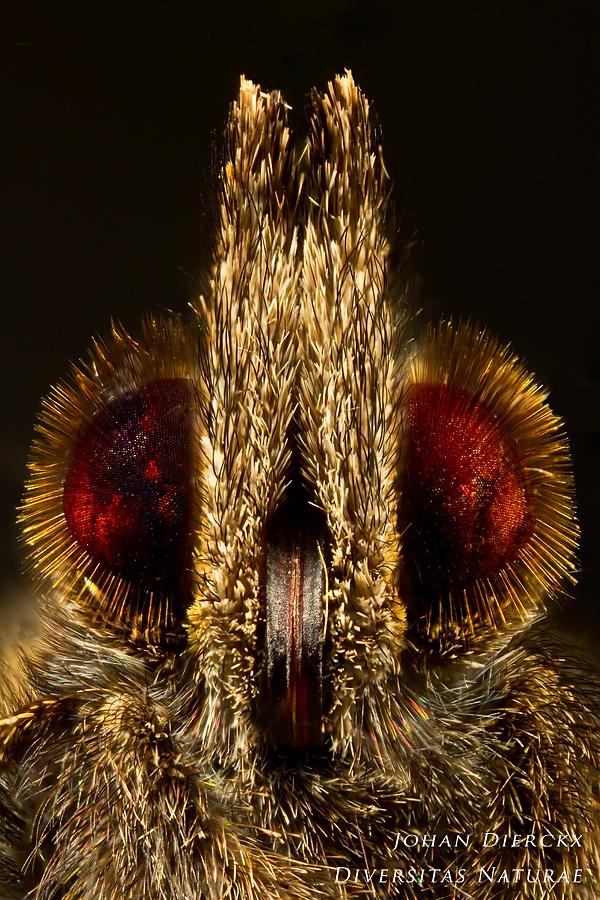 Aglais urticae - head detail stacked