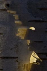 Betula pendula - Cortex 1/5