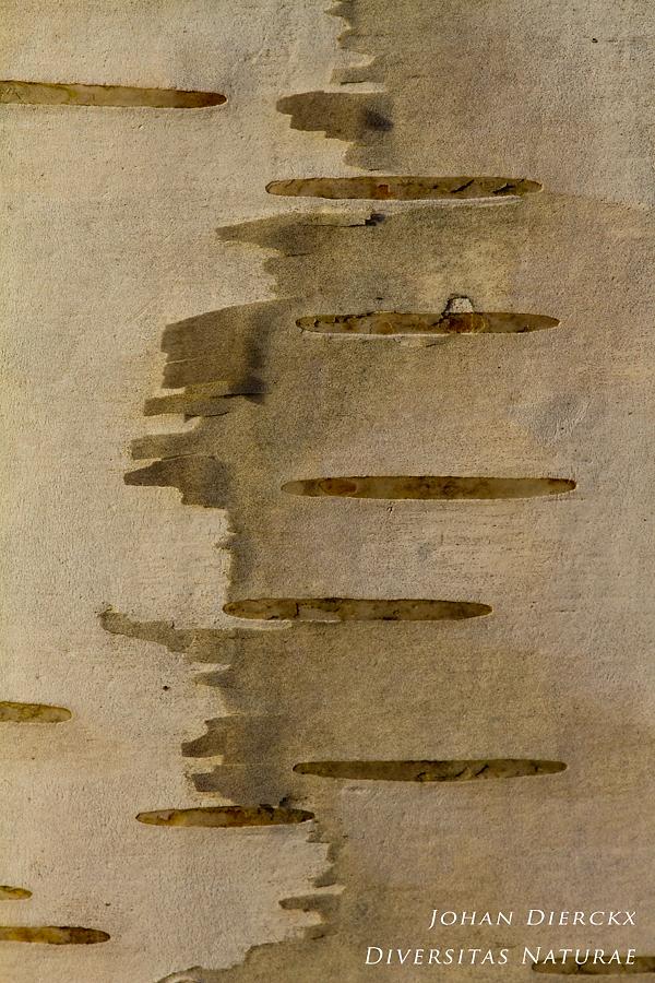 Betula pendula - Cortex 2/5