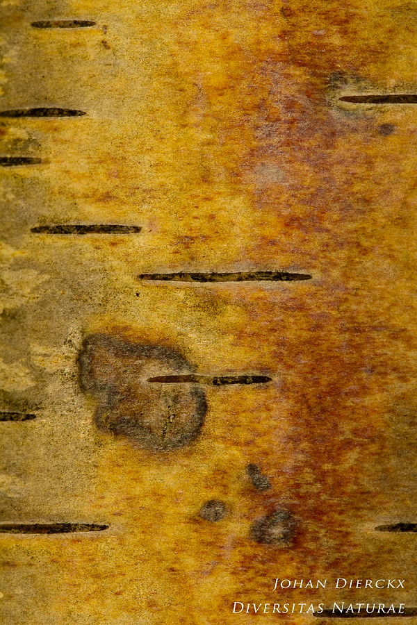 Betula pendula - Cortex 5/5