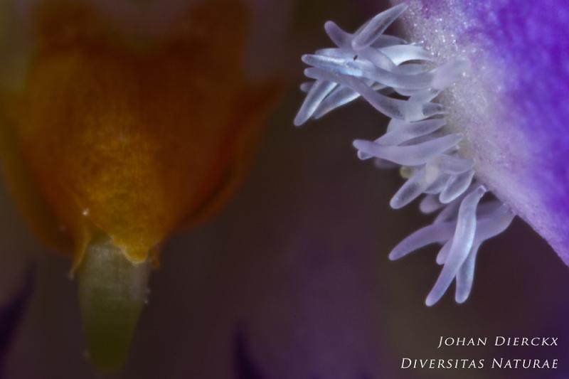 Viola odorata - Inside the flower