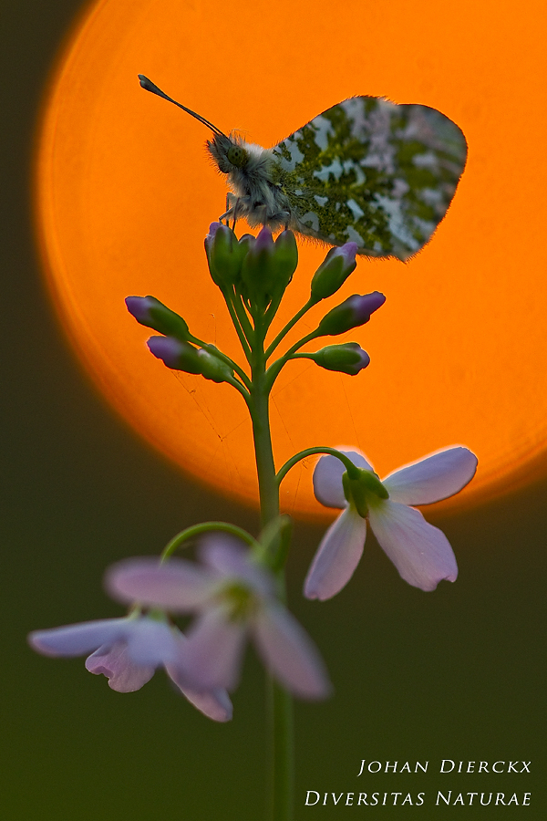 Anthocharis cardamines at sunset