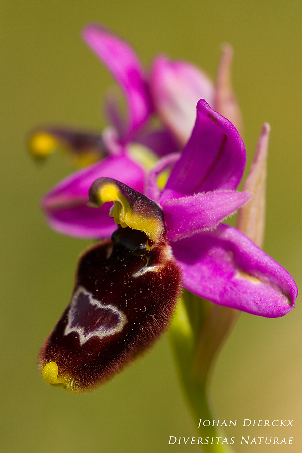 Ophrys × sorrentinoi