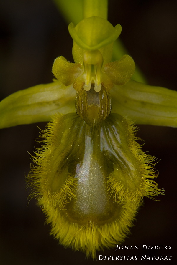Ophrys speculum (hypochromatic)