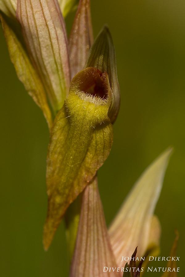 Serapias vomeracea - color variation