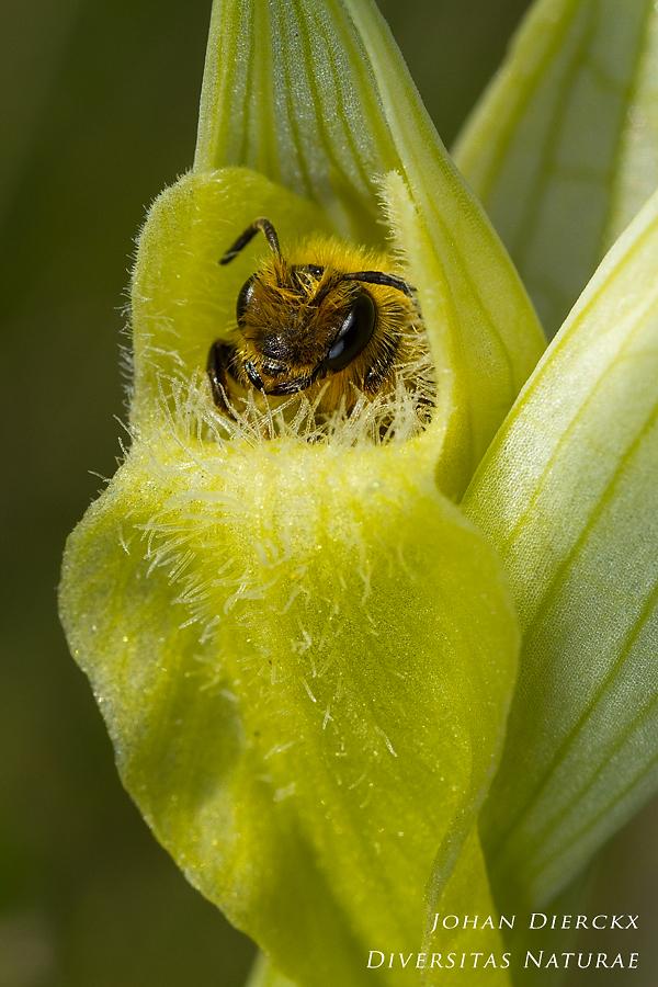 Bee visiting Serapias vomeracea albiflora