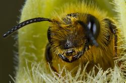 Bee visiting Serapias vomeracea albiflora #2