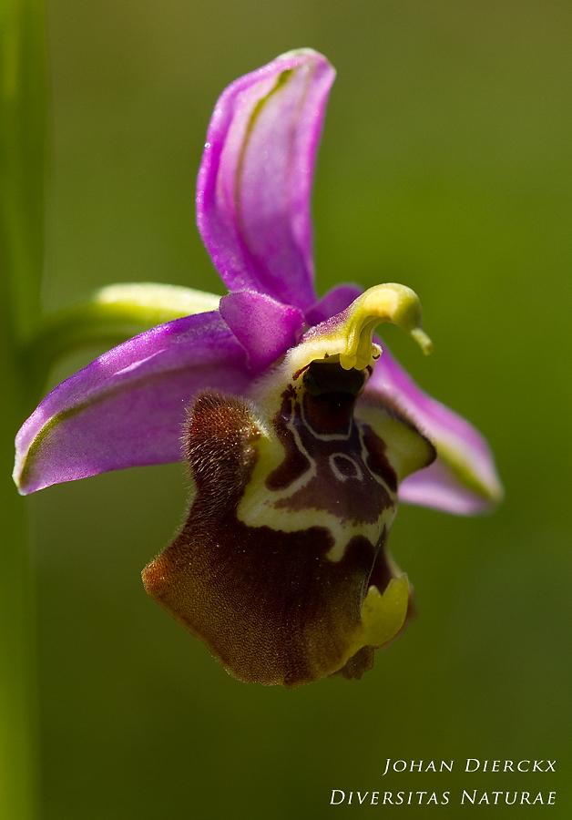 Ophrys calliantha