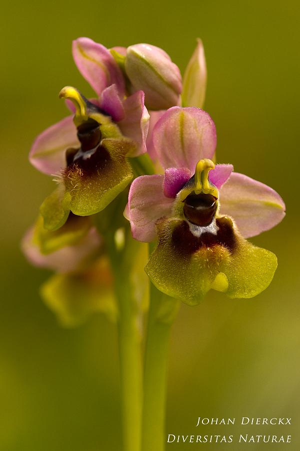 Ophrys grandiflora