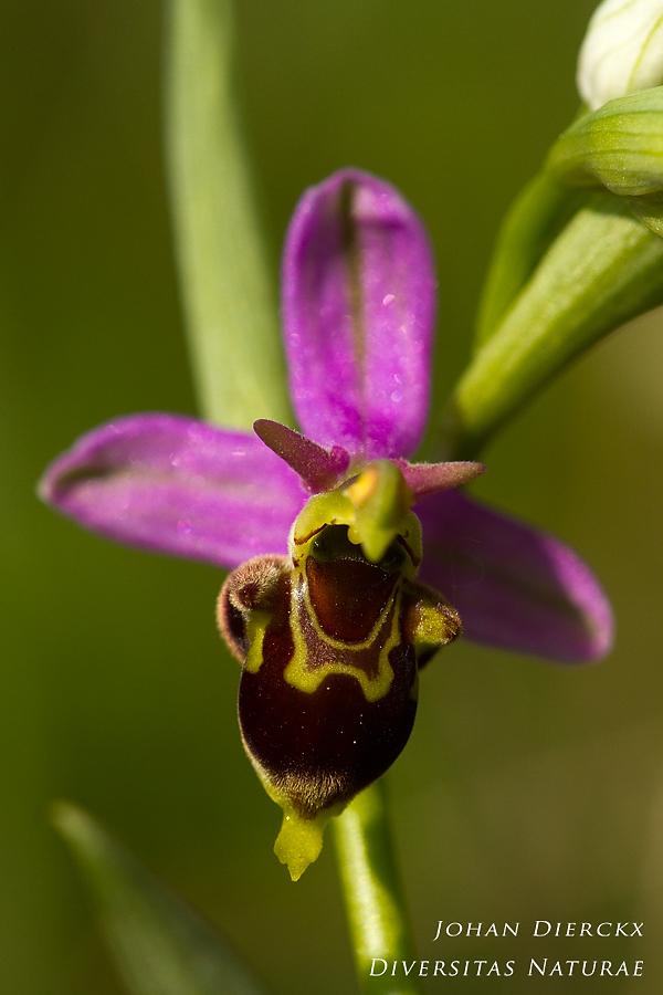 Ophrys x albertiana