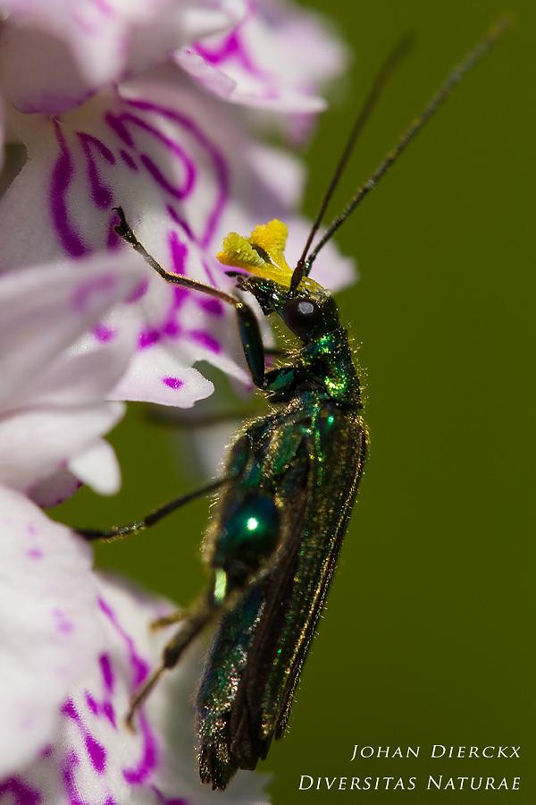 Oedemera nobilis pollinating Dactylorhiza maculata