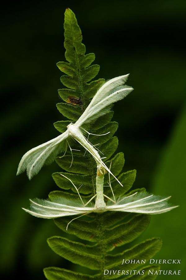Pterophorus pentadactyla - copula