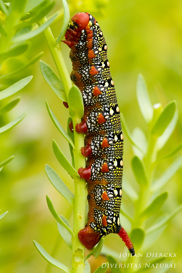 Hyles euphorbiae - Caterpillar