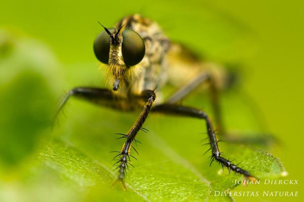 Eutolmus rufibarbis - look me in the eyes...