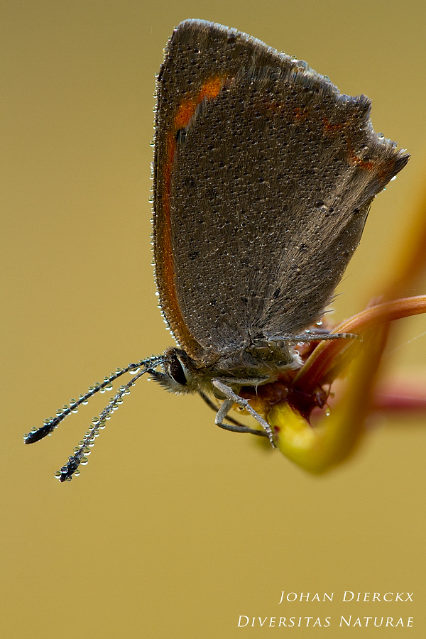 Lycaena phlaeas - waiting for the sun