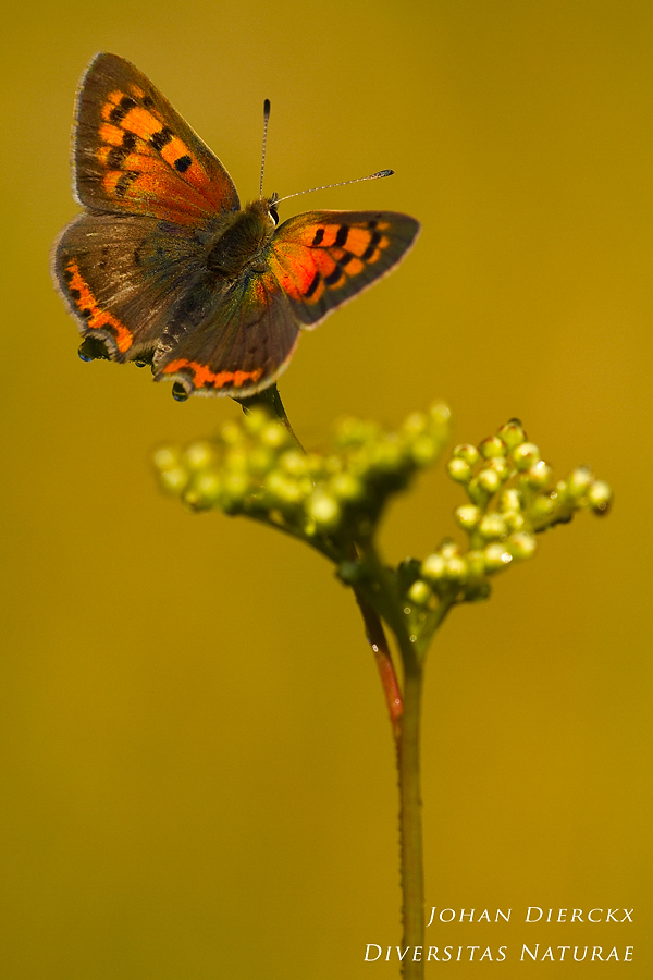 Lycaena phlaeas - the sun at last...