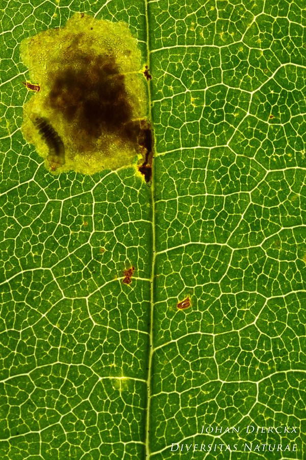 Cameraria ohridella - Caterpillar #2