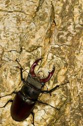Lucanus cervus - male #2