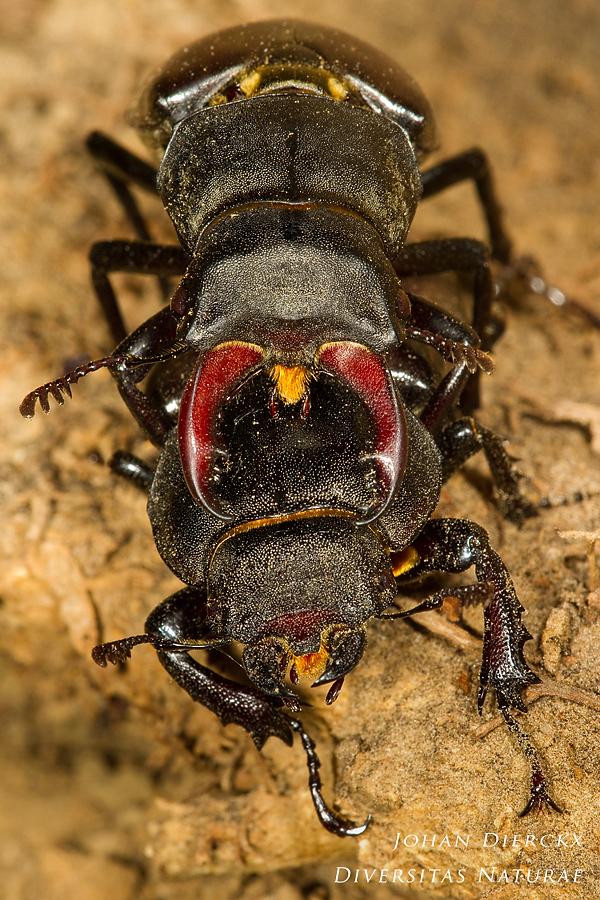 Lucanus cervus - Copula