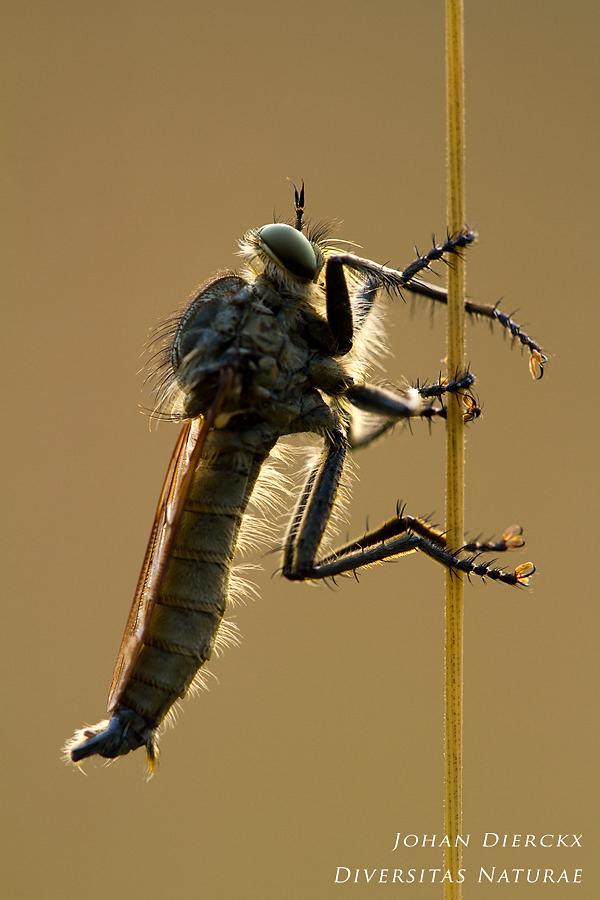 Eutolmus rufibarbis (M)