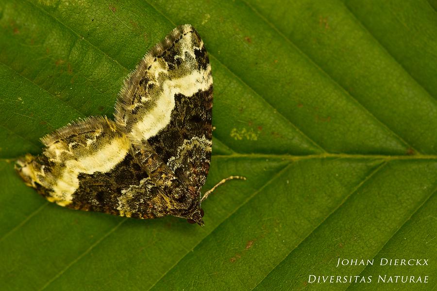 Euphyia unangulata