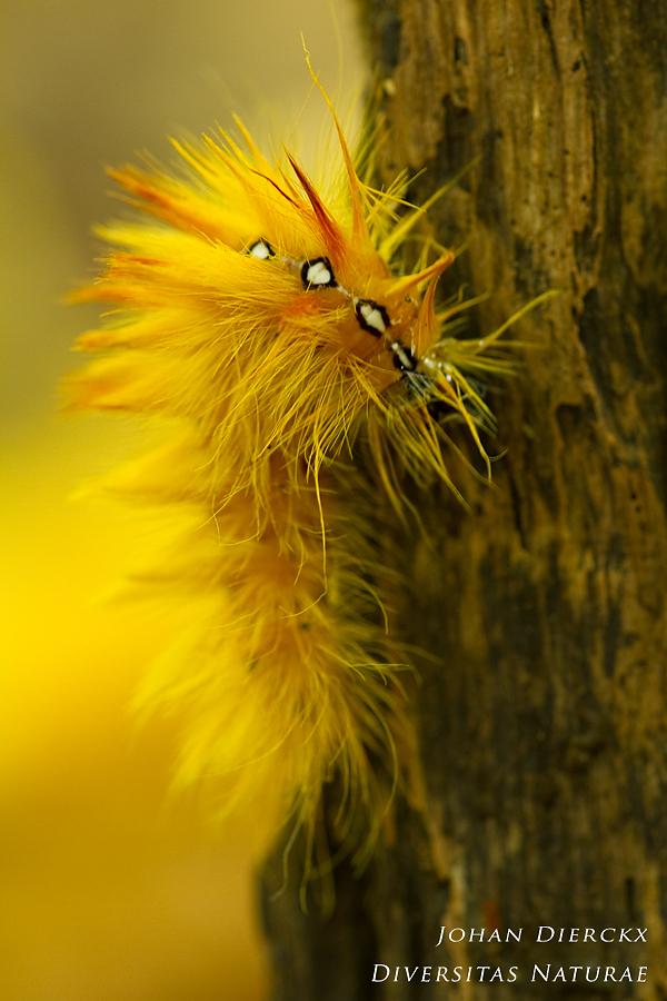 Acronicta aceris - Caterpillar