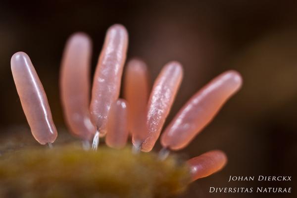 Stemonitopsis typhina - stage 2 - detail