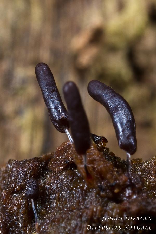 Stemonitopsis typhina - stage 4