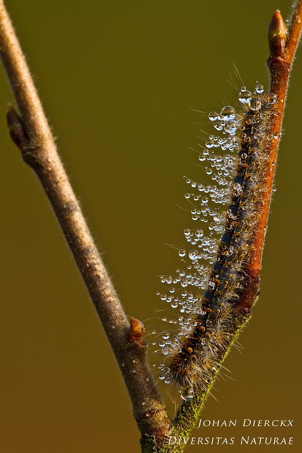 Lasiocampa quercus - Caterpillar