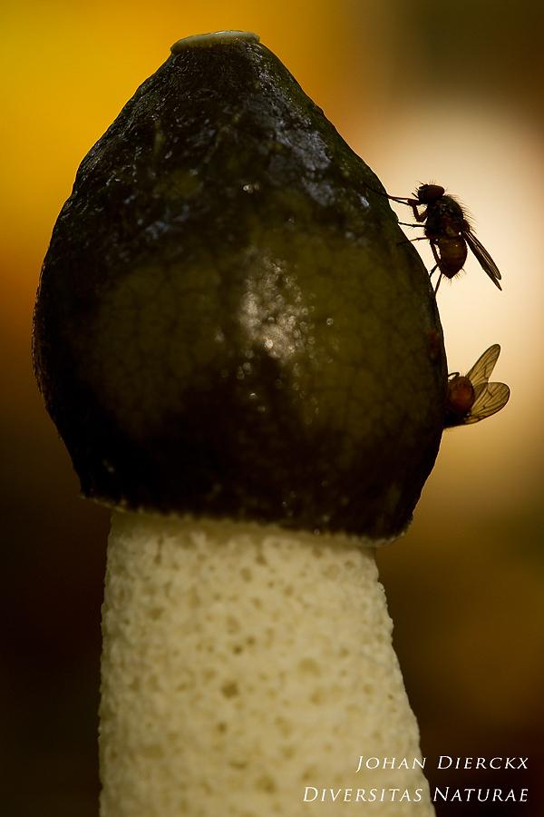 Phallus impudicus - dispersal of spores