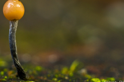 Stilbocrea gracilipes #2