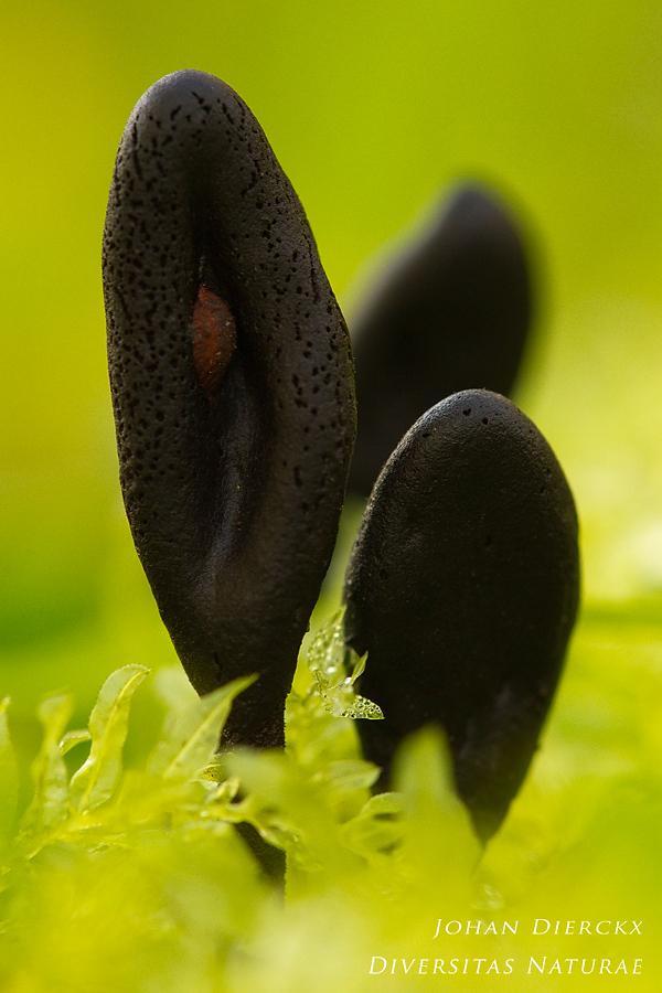 Trichoglossum hirsutum
