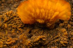 Phlebia radiata #2