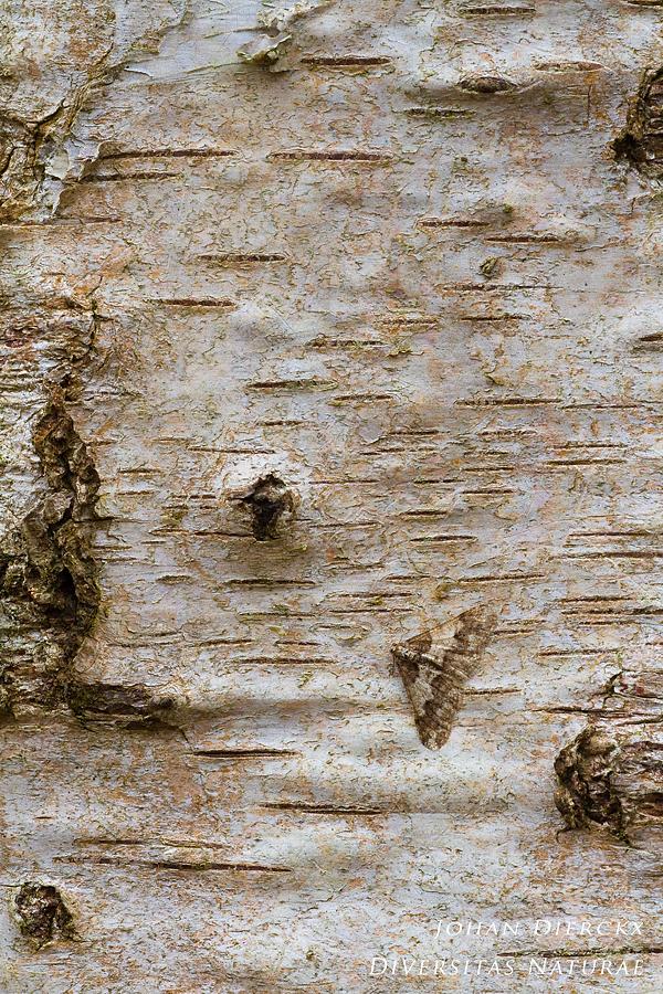 Agriopis leucophaearia - camouflage