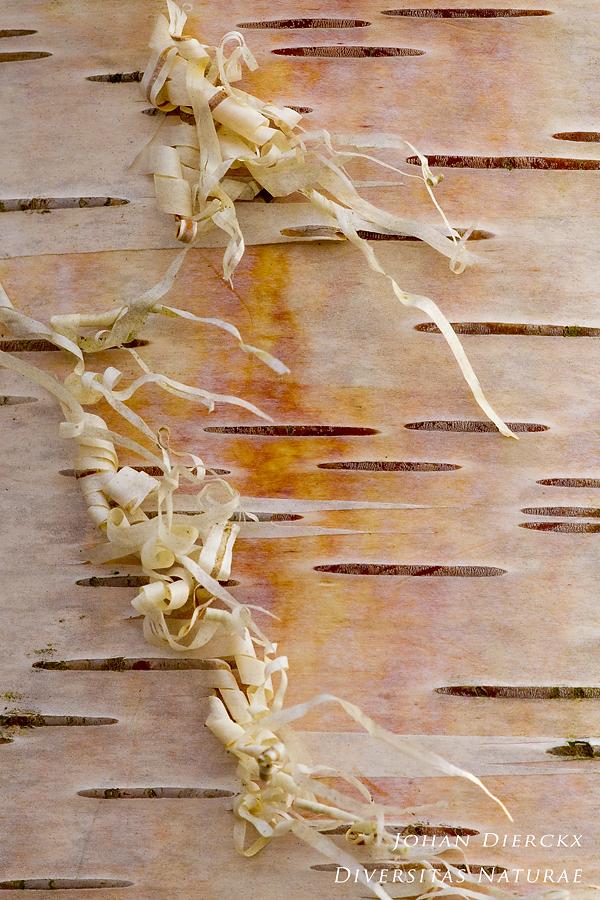 Betula pendula - cortex