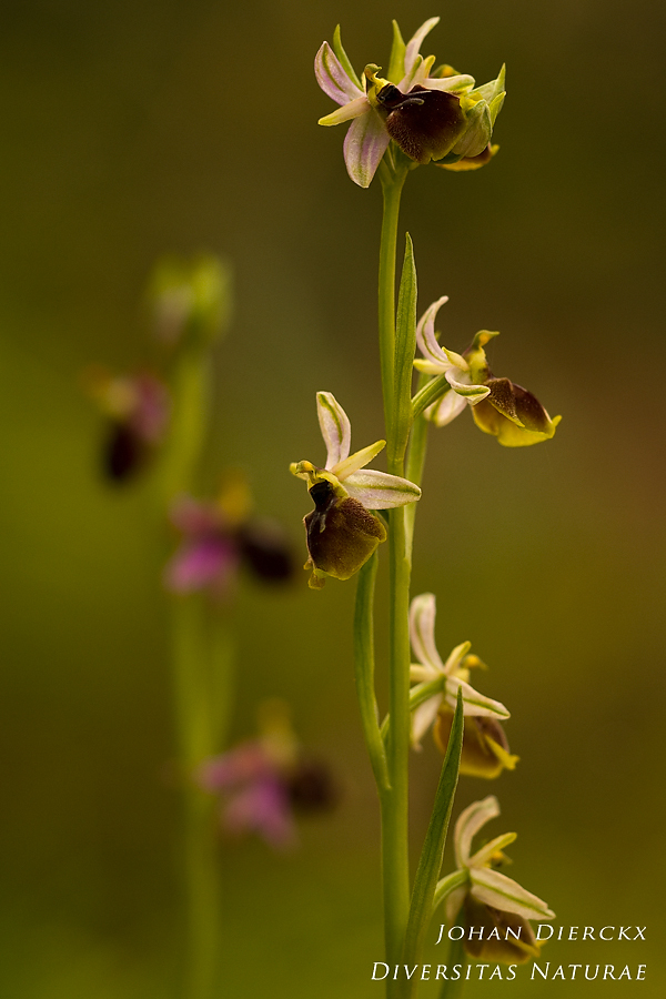 Ophrys panattensis #2