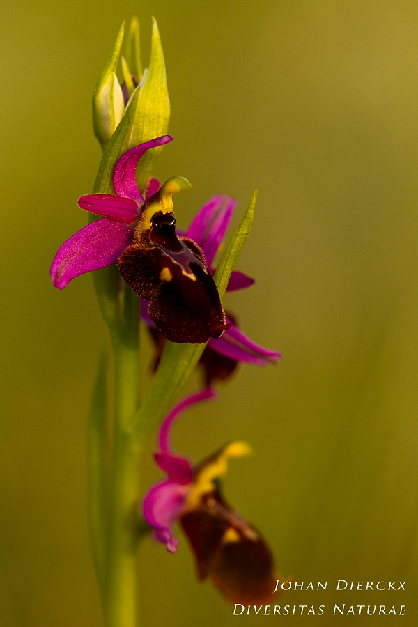 Ophrys panattensis #3
