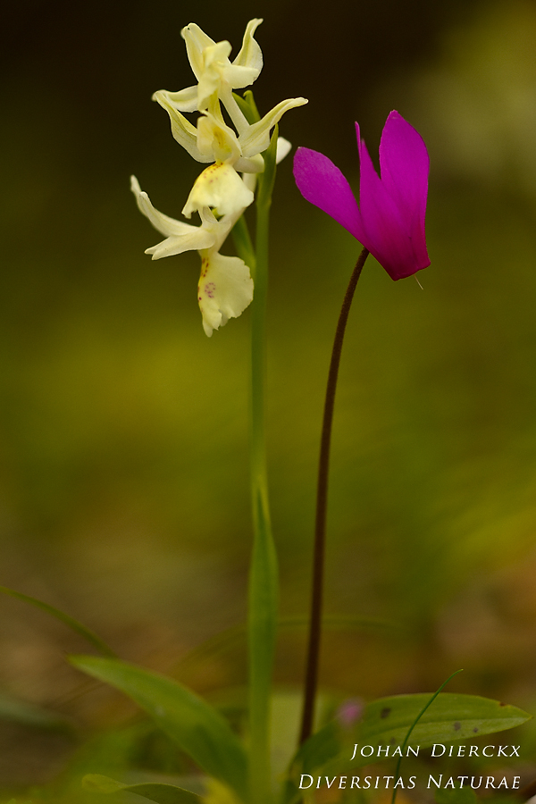 Orchis provincialis #2