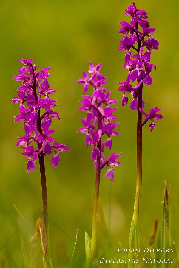 Orchis mascula #2