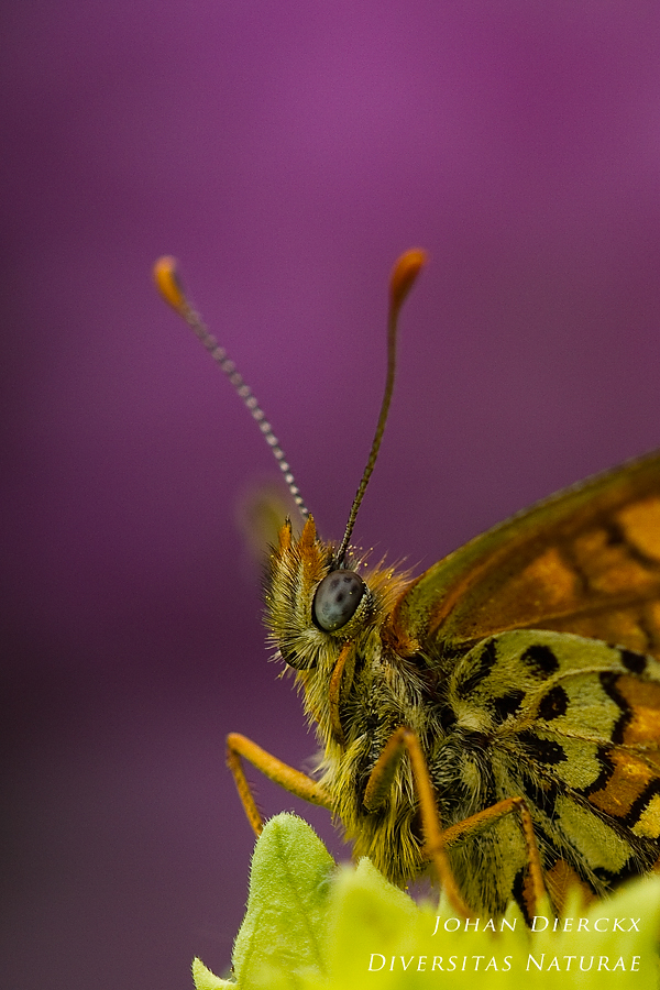 Melitaea cinxia - detail