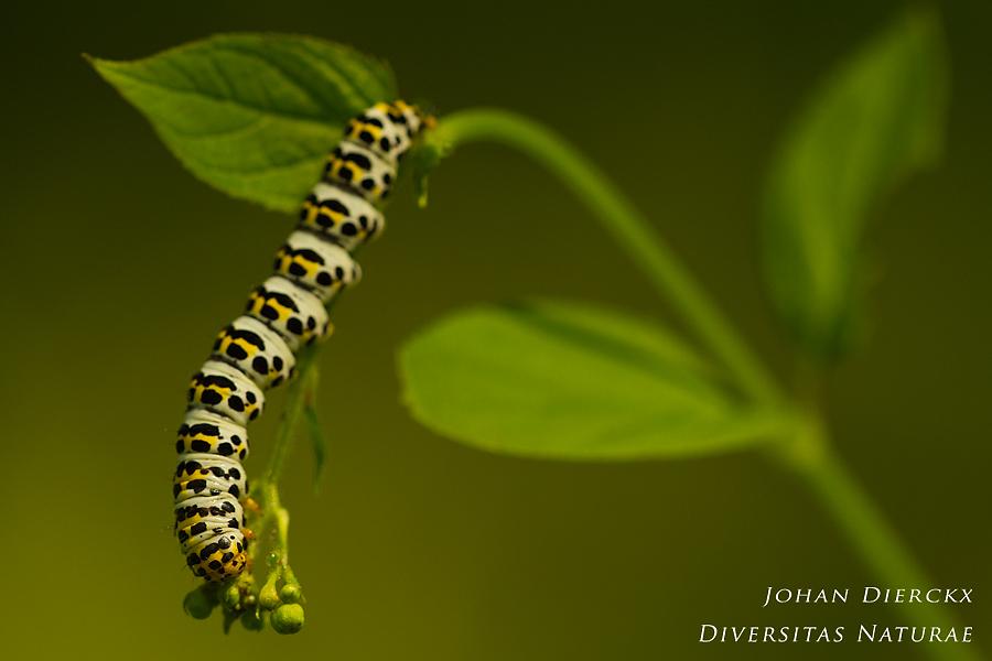 Shargacucullia scrophulariae - Caterpillar #2
